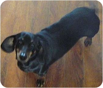 Dachshund Dog for adoption in Tahlequah, Oklahoma - Lucy