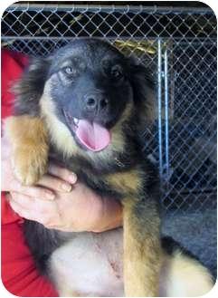 Australian Shepherd Mix Puppy for adoption in Wilmington, Delaware - Laverne