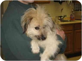 Shih Tzu/Terrier (Unknown Type, Small) Mix Puppy for adoption in Buffalo, New York - Mama Macy: PENDING
