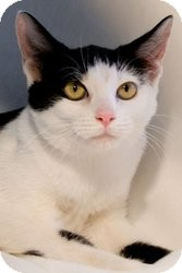 Domestic Shorthair Cat for adoption in Wayne, New Jersey - Piper