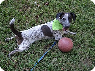 Dachshund/Pointer Mix Dog for adoption in Peachtree City, Georgia - Olive
