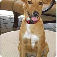 Adopt A Pet :: Penny - Gilbert, AZ