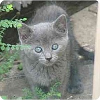 Adopt A Pet :: Blue Kittens - Fort Lauderdale, FL