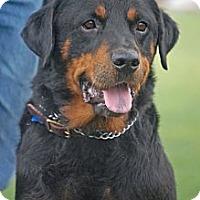 Adopt A Pet :: Joey - Altadena, CA