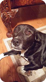 Labrador Retriever/Great Pyrenees Mix Dog for adoption in Huntsville, Alabama - Sammy