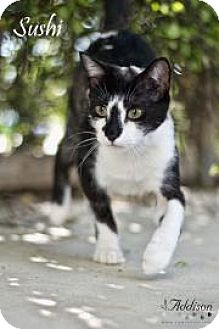 Domestic Shorthair Cat for adoption in Belle Chasse, Louisiana - Sushi
