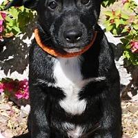 Adopt A Pet :: Tyrion - Gilbert, AZ