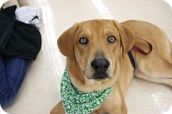 Labrador Retriever Mix Dog for adoption in Homestead, Florida - Holden
