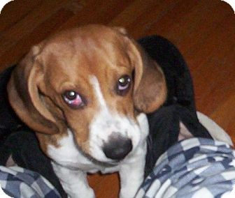 Beagle Mix Puppy for adoption in Hastings, Minnesota - Jukka - ADOPTED