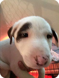 Bull Terrier/Pointer Mix Puppy for adoption in Houston, Texas - Harvey