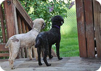 Miniature Poodle Dog for adoption in Elk River, Minnesota - MAX