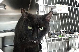 Domestic Mediumhair Cat for adoption in Elyria, Ohio - Rasputin