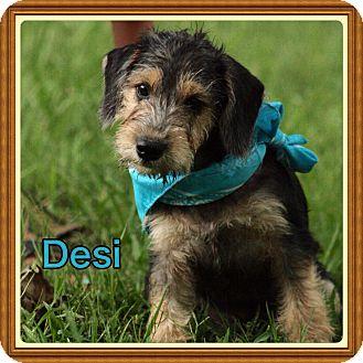 Schnauzer (Standard)/Beagle Mix Puppy for adoption in Harrisburg, Pennsylvania - Desi