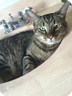 Domestic Shorthair Cat for adoption in Sherman Oaks, California - Coco