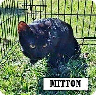 Domestic Shorthair Kitten for adoption in East Hartford, Connecticut - Mitten Man (in CT)