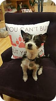 Terrier (Unknown Type, Small) Mix Puppy for adoption in Valencia, California - Spot