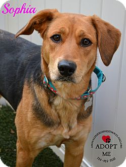 Beagle/Shepherd (Unknown Type) Mix Dog for adoption in Youngwood, Pennsylvania - Sophia