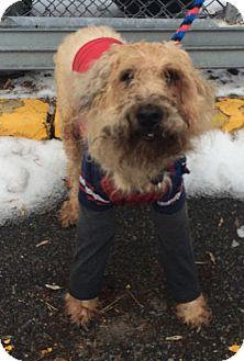 Wheaten Terrier Dog for adoption in Oak Ridge, New Jersey - Jimmy