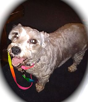 Miniature Schnauzer/Terrier (Unknown Type, Small) Mix Dog for adoption in Winter Haven, Florida - Sophie