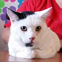 Domestic Shorthair Cat for adoption in Lemoore, California - Deacon
