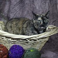 Domestic Shorthair Cat for adoption in Chicago Heights, Illinois - Casserole