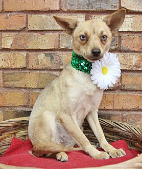 Chihuahua Mix Dog for adoption in Benbrook, Texas - Foxy