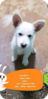 Jindo Mix Puppy for adoption in los angeles, California - Beau
