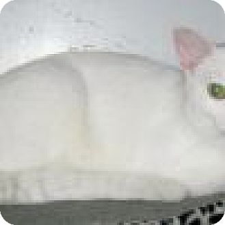 Domestic Shorthair Cat for adoption in Powell, Ohio - Frosty