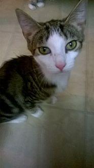 Domestic Shorthair Kitten for adoption in Durham, North Carolina - Marble