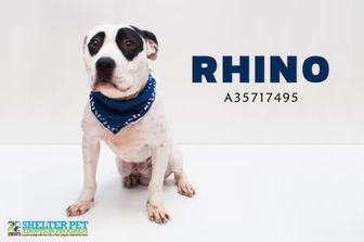 American Pit Bull Terrier Mix Dog for adoption in San Angelo, Texas - Rhino K106 6\21\17