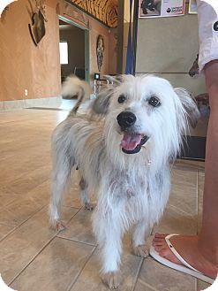 Tibetan Terrier Mix Dog for adoption in Palm Desert, California - BECKY