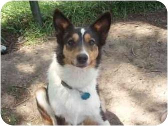 Sheltie, Shetland Sheepdog/Corgi Mix Dog for adoption in Watertown, South Dakota - Maddie