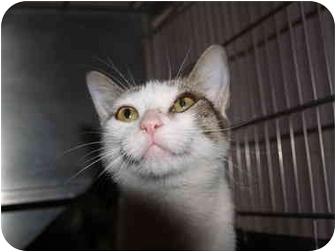 Domestic Shorthair Cat for adoption in El Cajon, California - Emily