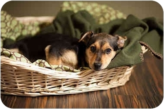 German Shepherd Dog/Labrador Retriever Mix Puppy for adoption in Portland, Oregon - Clyde