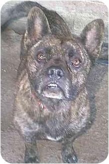 French Bulldog Mix Dog for adoption in dewey, Arizona - Jingles