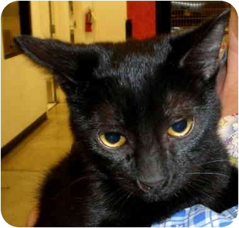 Domestic Shorthair Cat for adoption in Yorba Linda, California - Violet