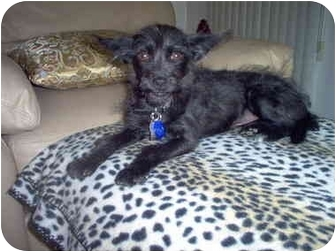Terrier (Unknown Type, Small) Mix Dog for adoption in Culver City, California - Dahlia