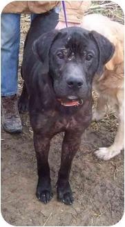 Labrador Retriever/Great Dane Mix Dog for adoption in McArthur, Ohio - DUNCAN-URGENT