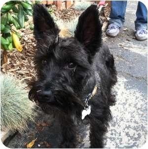 Schnauzer (Miniature) Dog for adoption in Redondo Beach, California - Clementine (AKA Emmy)