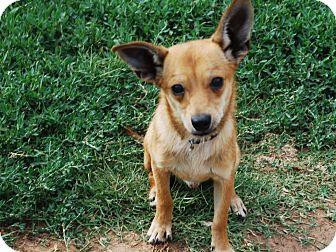 Dachshund Mix Puppy for adoption in Astoria, New York - Zeke