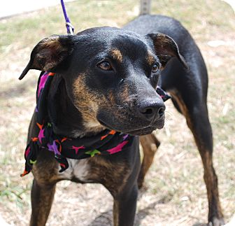 Shepherd (Unknown Type)/Manchester Terrier Mix Puppy for adoption in White Settlement, Texas - Sugar's Jezzabelle