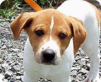 Beagle/Labrador Retriever Mix Puppy for adoption in Glastonbury, Connecticut - CUDDLES/Summer Spec Pricing