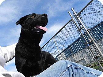 Labrador Retriever/German Shepherd Dog Mix Dog for adoption in Longview, Washington - 140546