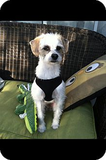 Cairn Terrier Mix Dog for adoption in Gilbert, Arizona - Duncan