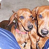 Adopt A Pet :: SHORTY - batlett, IL