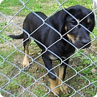 Adopt A Pet :: JOY-Reduced $175 - Bel Air, MD