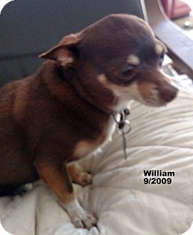 Chihuahua Mix Dog for adoption in San Diego, California - William