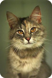 Domestic Mediumhair Cat for adoption in Parma, Ohio - Martini