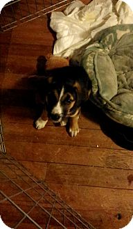 Husky Mix Puppy for adoption in Lima, Pennsylvania - Benny