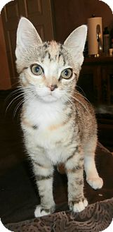 Egyptian Mau Kitten for adoption in Fort Worth, Texas - Mouska